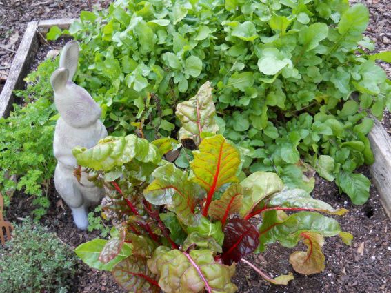 "Betty Sneeringer says, ""Chard is so pretty. The 'Bright Lights' would even look good in the landscaping."""