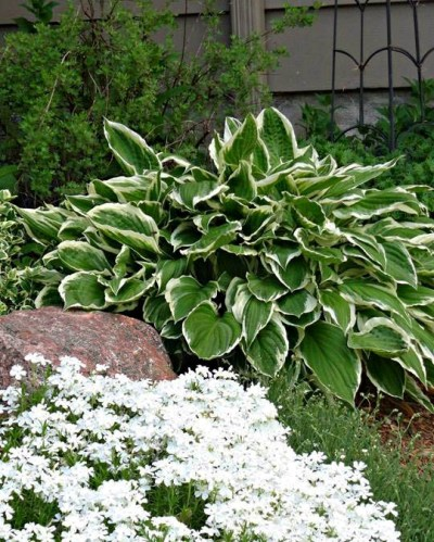 Linda Gladman's milky edged hosta