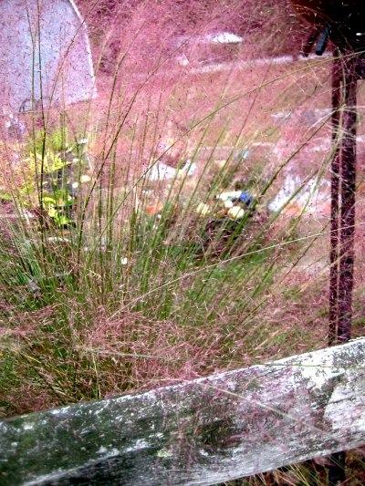 Nell Stelzer's Pink Muhly grass