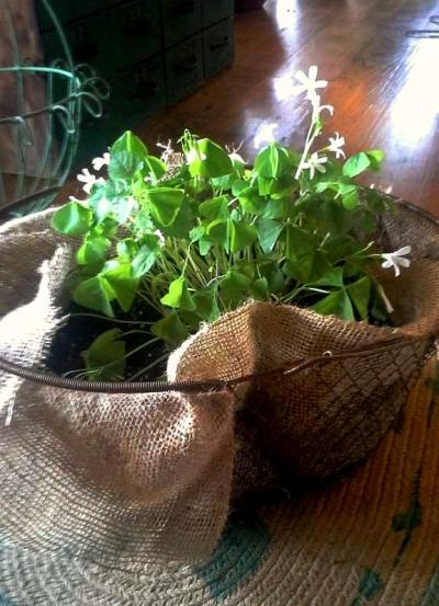 Billie Hayman‎ lined a wire basket with burlap