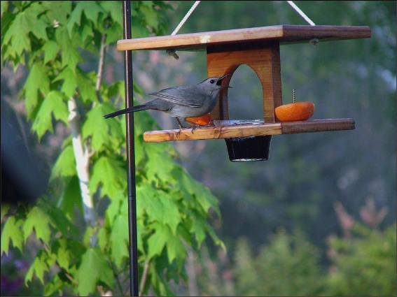 Jeanne Sammons's oriole feeder