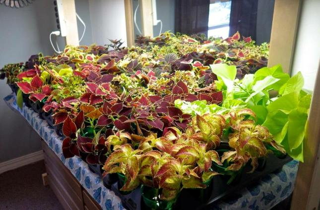 Ann Elias's coleus cuttings in water