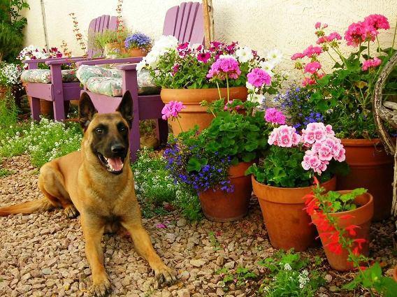 Donna McGinnis My gardDonna McGinnis My gardening buddy 'guards' my rambling geraniumsening buddy