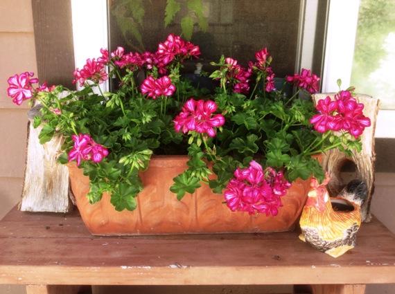 Sue Langley's Arctic Red ivy geranium