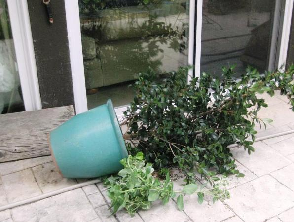Wind in the West blew over my camellia