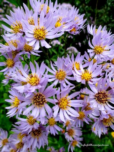 Barb Rosen's Fall Asters from Our Fairfield Home & Garden