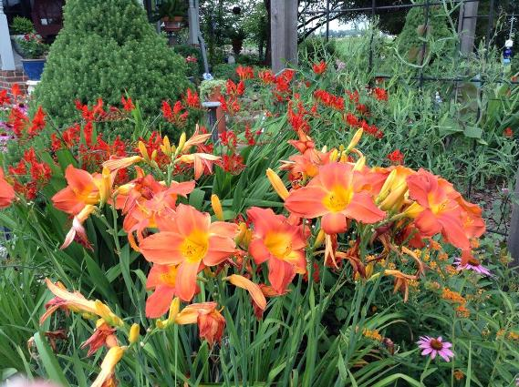 Vibrant hot color of the summer day lilies and crocosmia