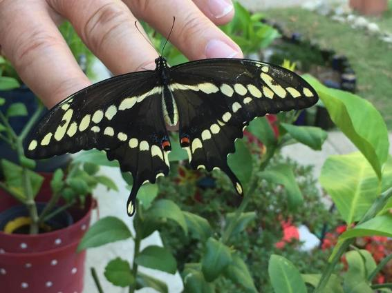 Deborah Parks 'This is one of the Giant Swallowtail butterflies'