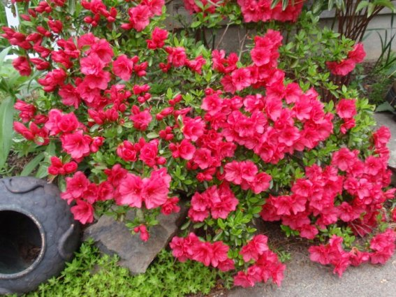 Red Azailea on the patio