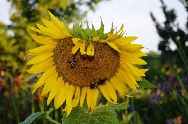 Bees flock to the sunflowrs in Christy Morrow's garden