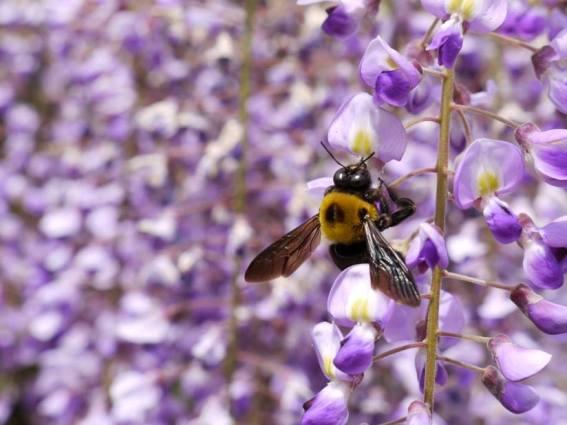 Sue Jordan's photo of a carpenter bee on her wisteria