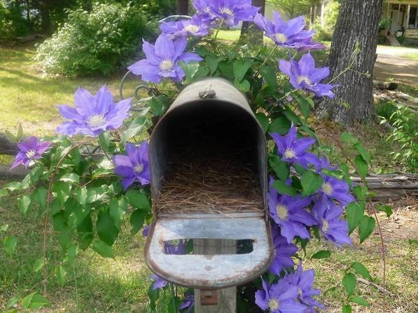 Catherine Ainsworth's charming mailbox, covered in Clematis blooms