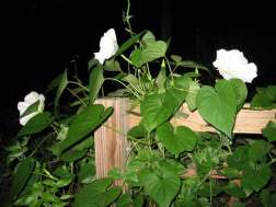 Moonflower vine, Ipomoea alba
