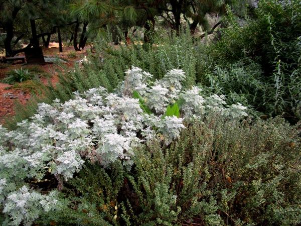 Artemisia U0027Powis Castleu0027