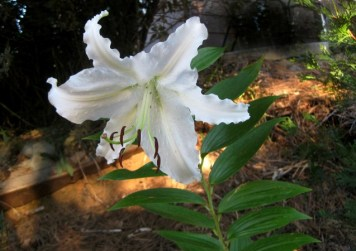 Asiatic or Oriental lily