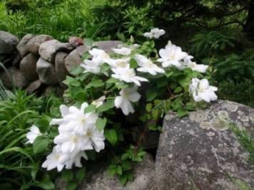 Cherrie Carine's Clematis, pure white 'Henryii'