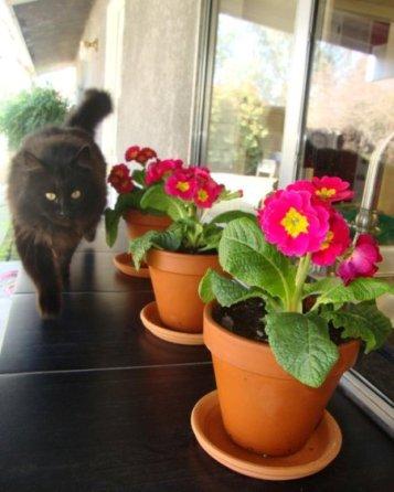 Jane Krauter's Primrose are purrrfect for flower pots