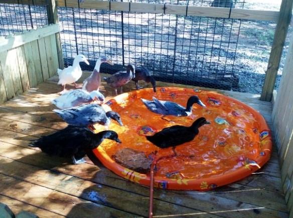 Dandi Gentry's chicken coop garden (23)