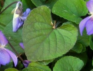Sue Langley Violets, hidden in a damp corner of the garden