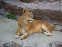 maruyama-zoo-lion