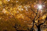 Autumn Leaves Coming to Taisetsuzan, Sounkyo, Asahikawa