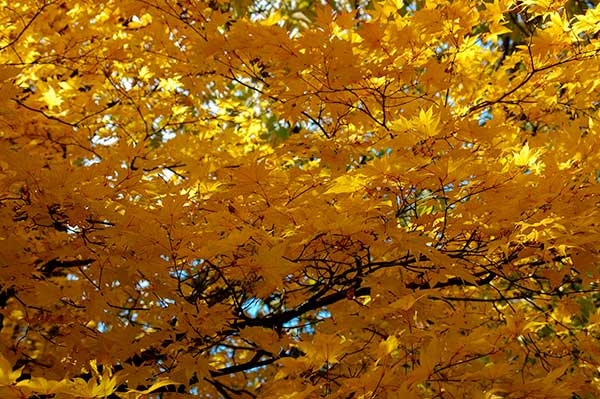 Autumn Leaves Best Time to See In Sapporo [Oct, 8 to 30 2014]