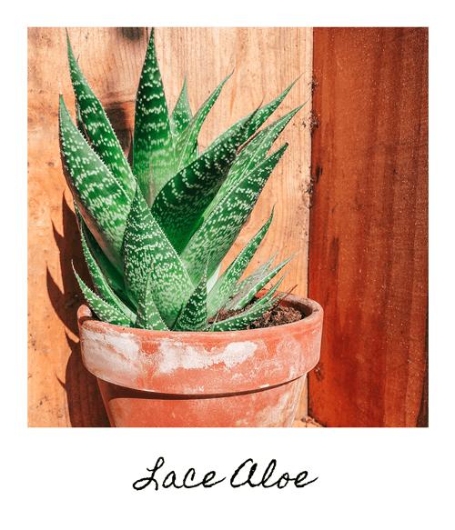 Lace-Aloe-2