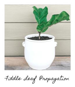 Fiddle-leaf Propagation