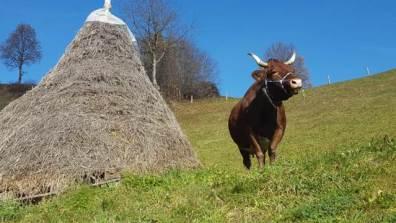 Tux-Zillertaler Kuh Fanni - 10 Jahre alt, 7 Abkalbungen