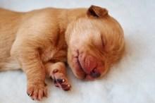 Fox red Labrador gundog puppy