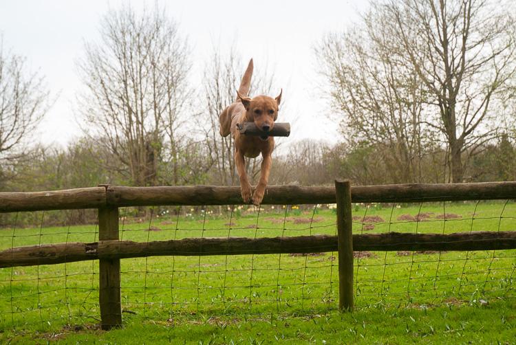 Fox red Labrador gundog