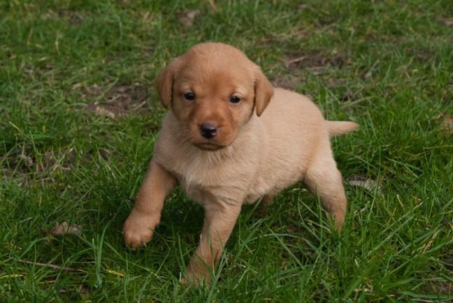 Fox Red Labrador Puppy