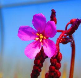 fleur de drosera