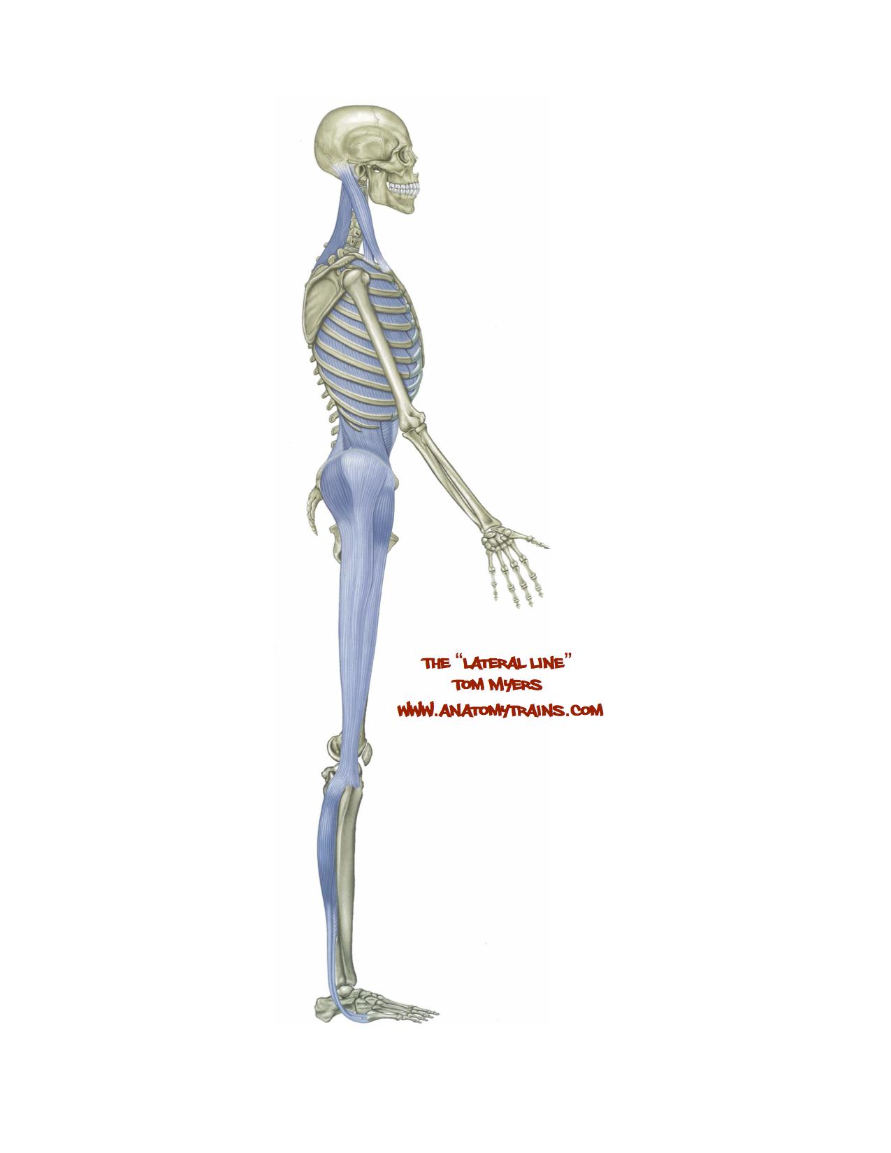 Anatomy Trains Deep Back Line