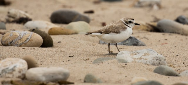 Endangered Plover, Carpinteria, California