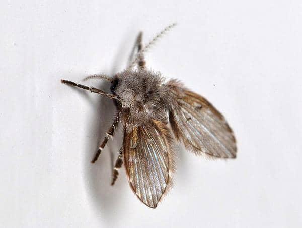 getting rid of drain flies