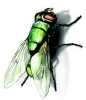 bottle-fly-lifespan