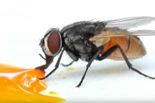 Housefly Facts