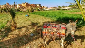 donkey morocco oasis
