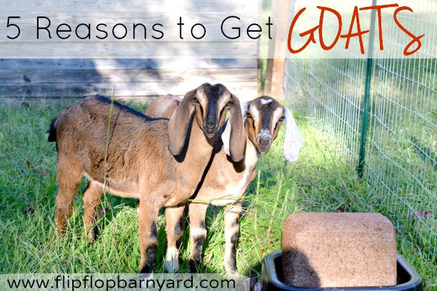5 Reasons to Get Goats   The Flip Flop Barnyard