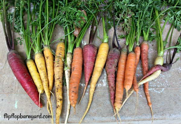 heirloom rainbow variety of carrots