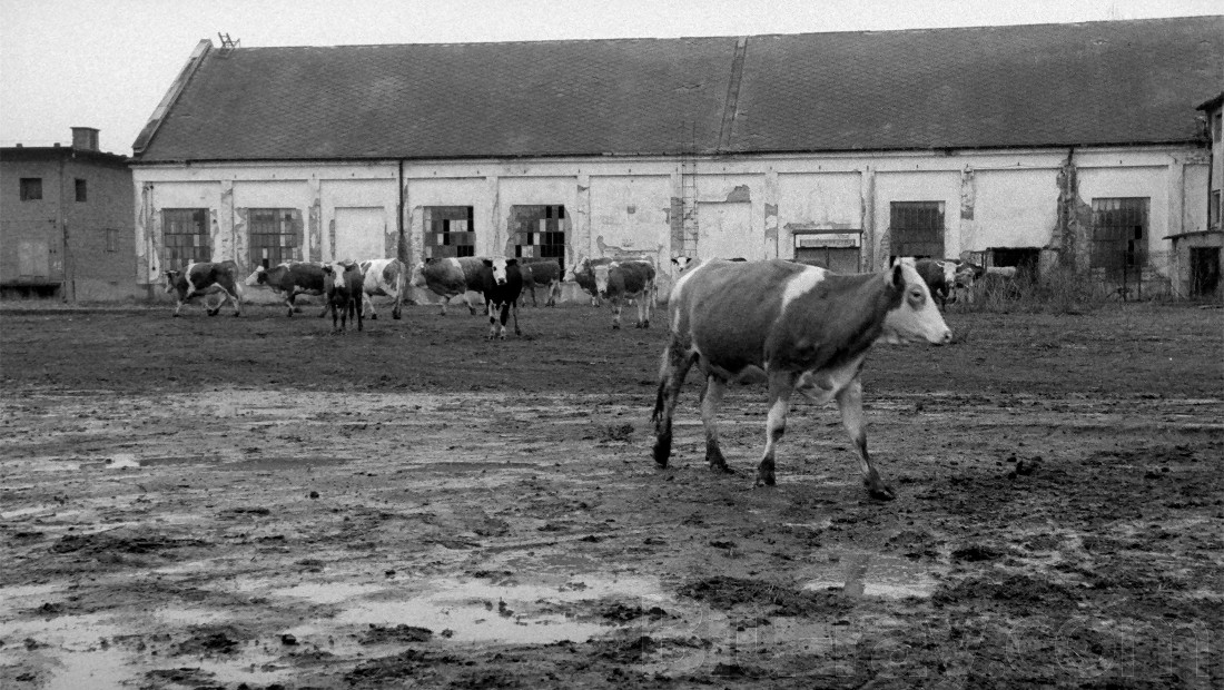 Cows in the opening scene of Sátántangó