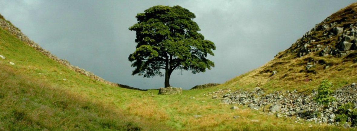 sycamore tree england
