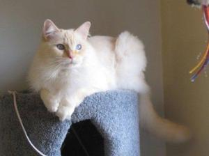 Benji (A Flame Mitted Lynx Ragdoll) Owned By Gloie Wall