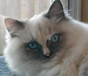 CatillacCats Shasta Seville - Blue-Cream Tortishell Point Mitted female with cream hour glass blaze, big sweet girl