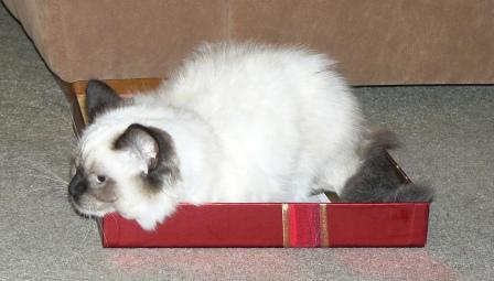 Inkie a seal mitted ragdoll aged 4 months owned by Charlotte Edwards