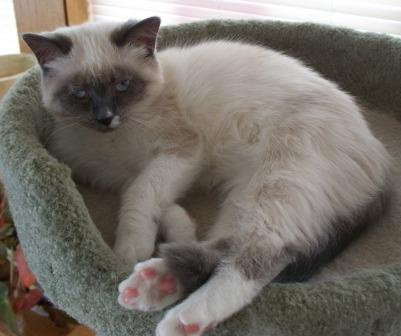 Maggie, a blue mitted Ragdoll (with a blaze), owned by Deb Noll