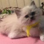 Blue Mitted ragdoll kitten 10 weeks old by TAT