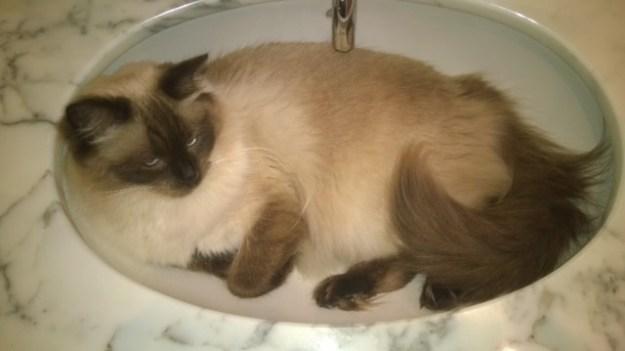 Ragdoll Cat in Sink