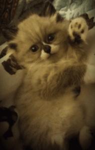 Apollo - Ragdoll Kitten of the Month 1